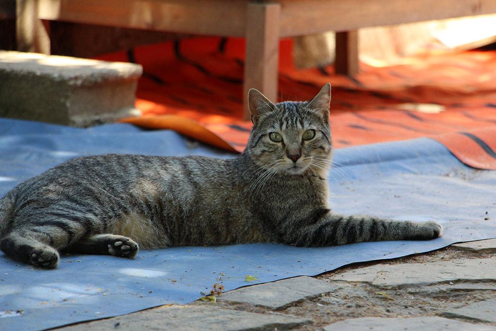 sam chat à adopter 91essonne