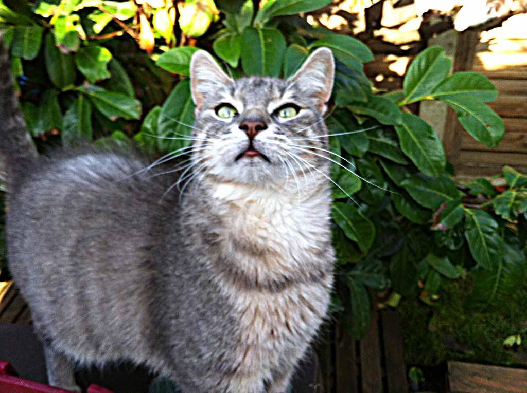 Pépone chat à adopter