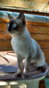 nanouk chat à adopter