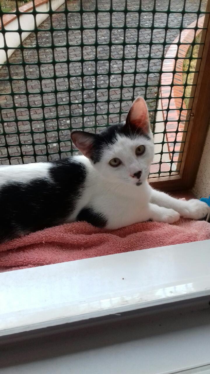 Patou chat à adopter Draveil