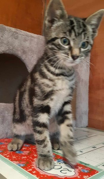 Fizzy chaton à adopter
